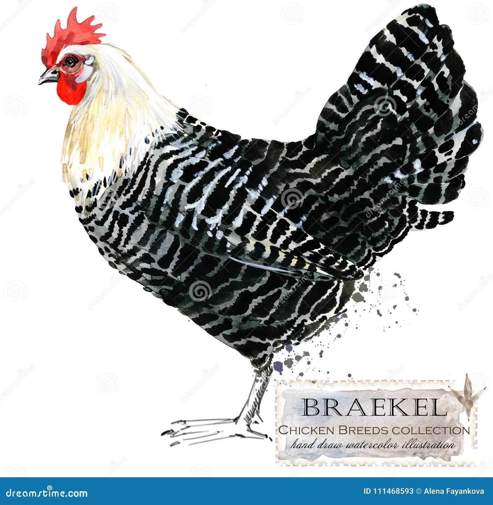 Сельское хозяйство птицы Цыпленок разводит серию отечественная птица фермы