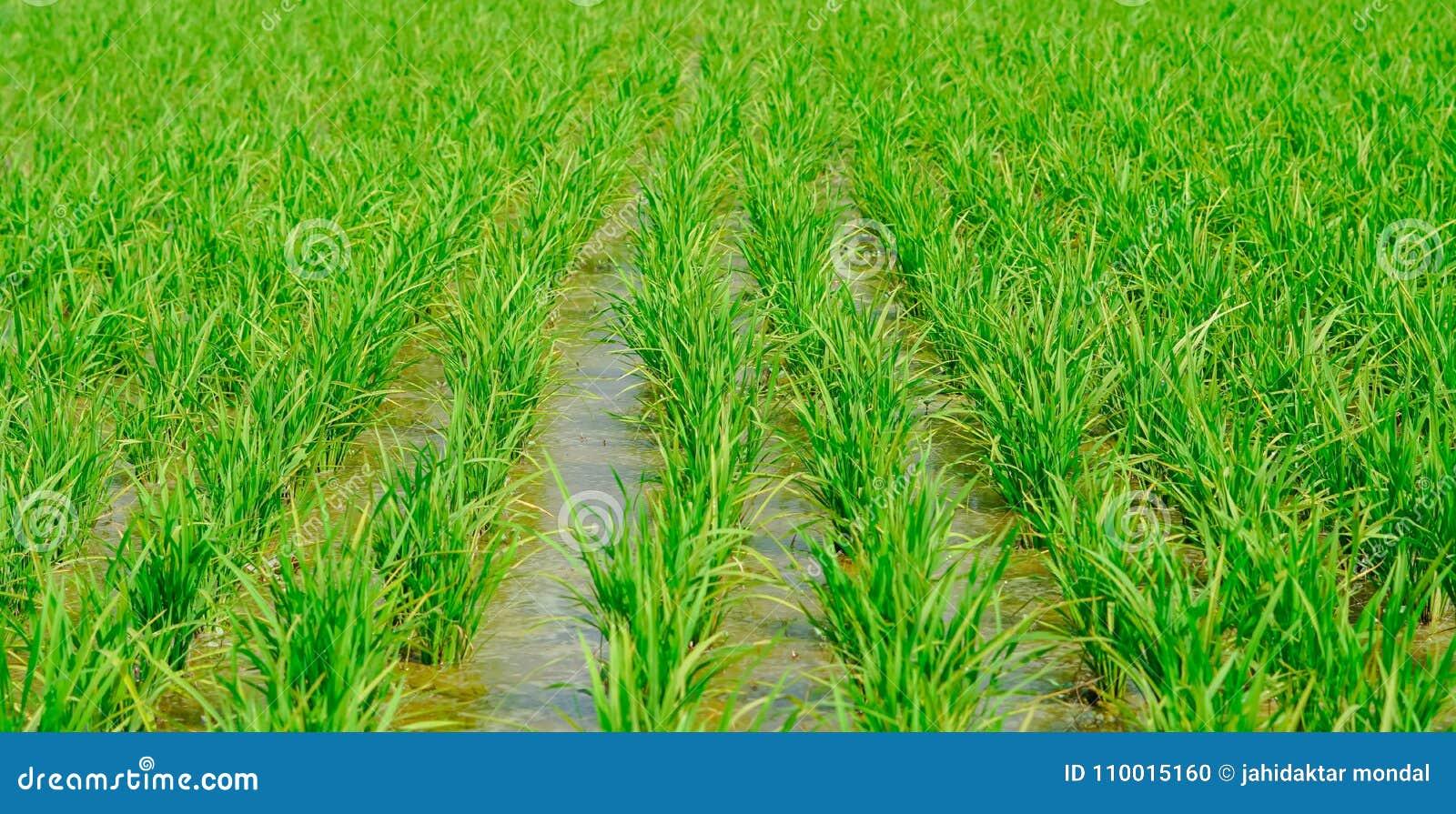 Сельское хозяйство риса в сезоне дождей Индии зеленый цвет, режим макроса