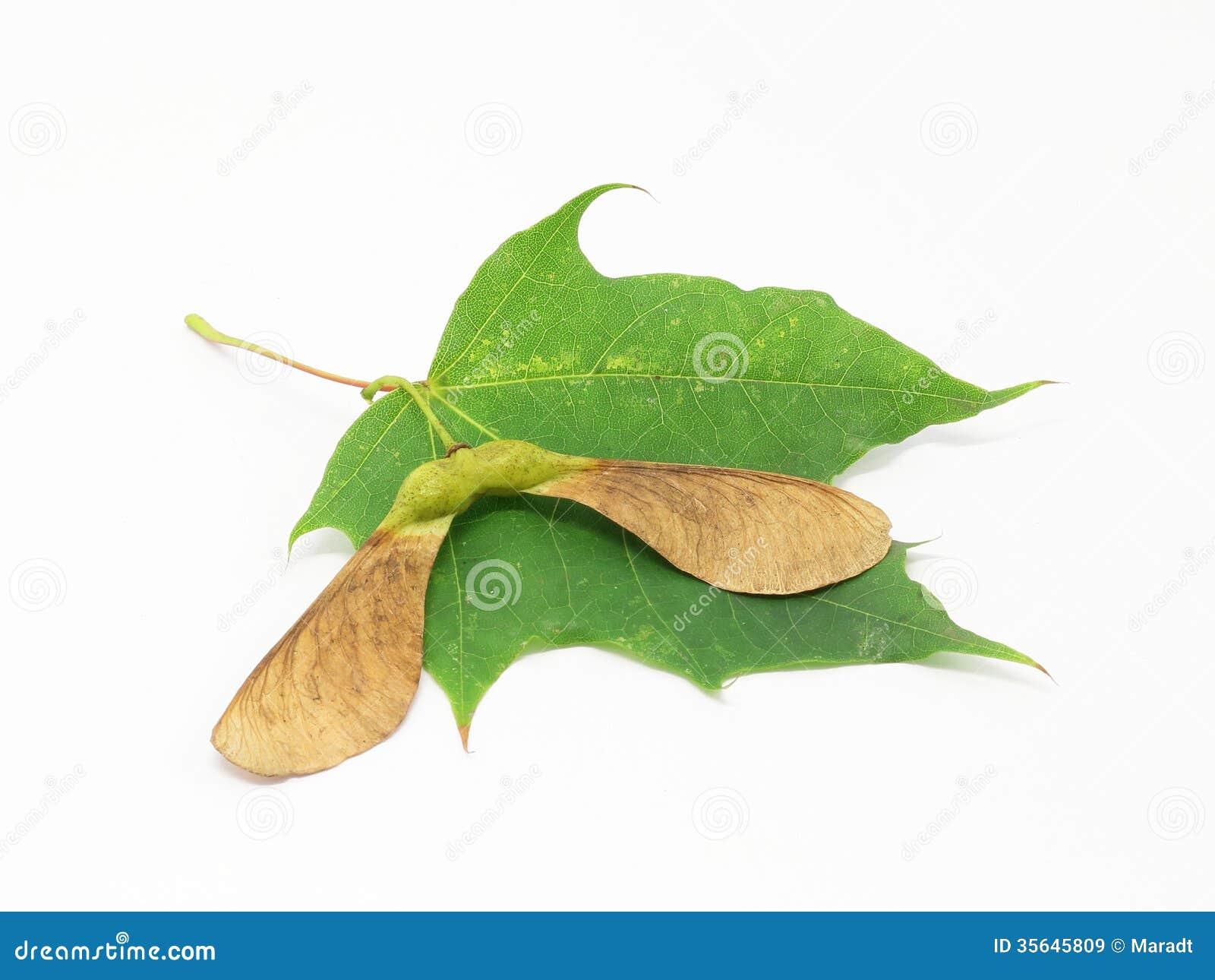 Семена и лист клена