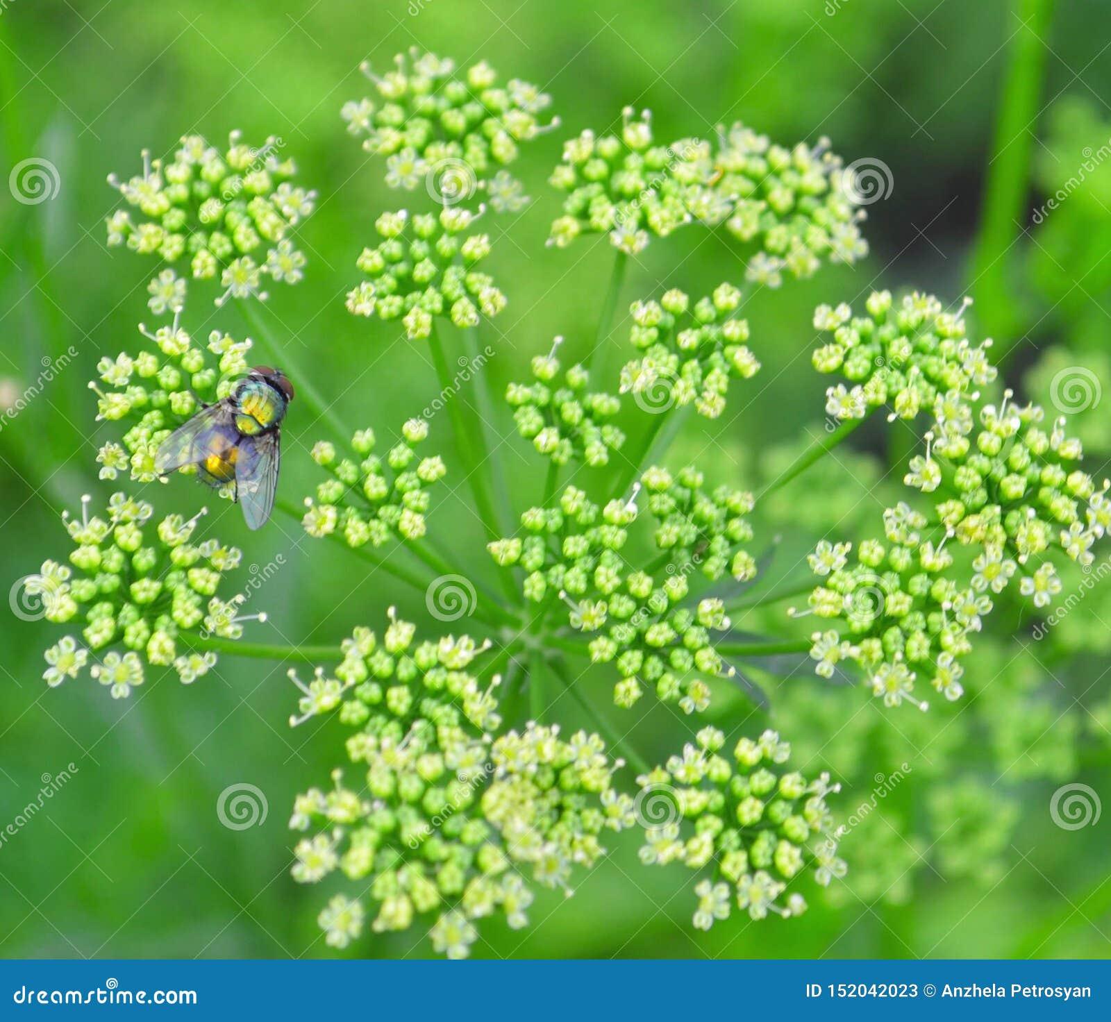 Семена кориандра, свежие зеленые листья cilantro на деревянной предпосылке