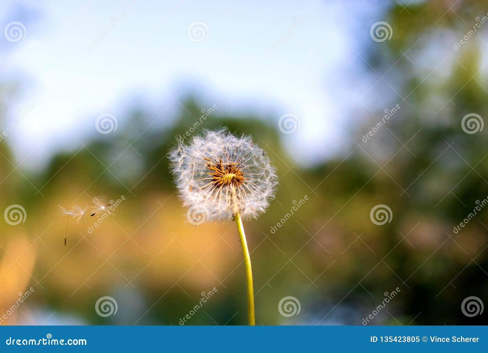 Семена одуванчика в солнечном свете утра дуя прочь поперек