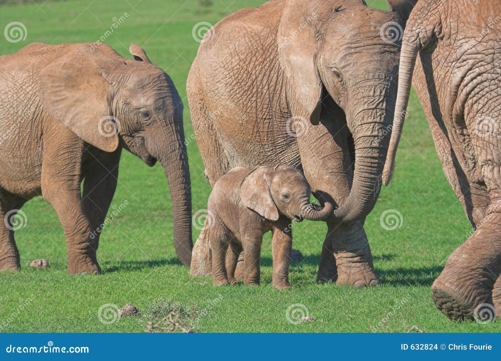 Download семья африканского слона стоковое фото. изображение насчитывающей волосато - 632824