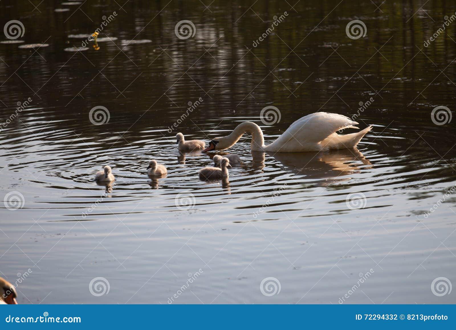 Download Семья в заходе солнца, Cygnus лебедя Cygnus Стоковое Фото - изображение насчитывающей шикарно, ангстрома: 72294332