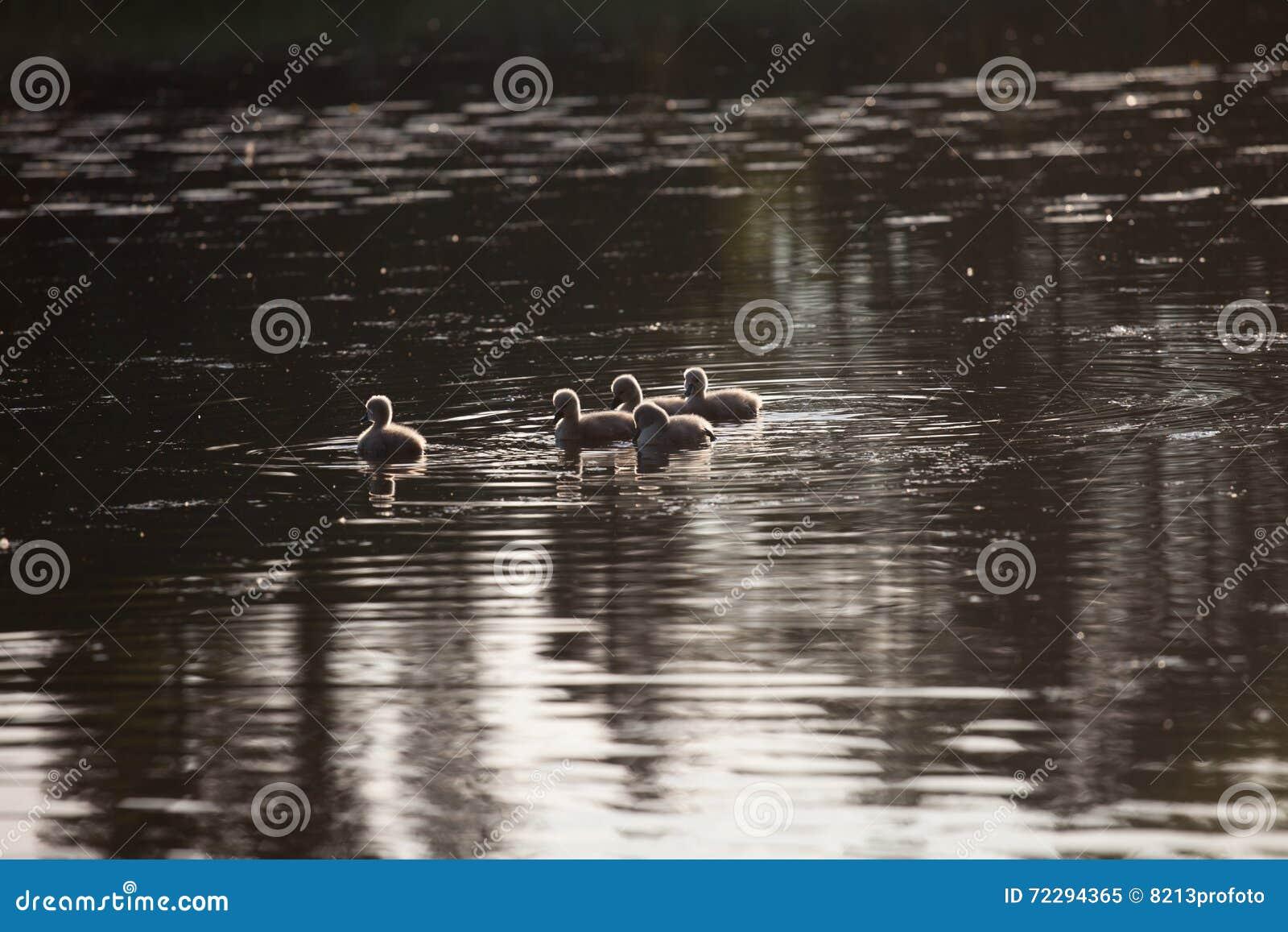Download Семья в заходе солнца, Cygnus лебедя Cygnus Стоковое Изображение - изображение насчитывающей ангстрома, aztecan: 72294365