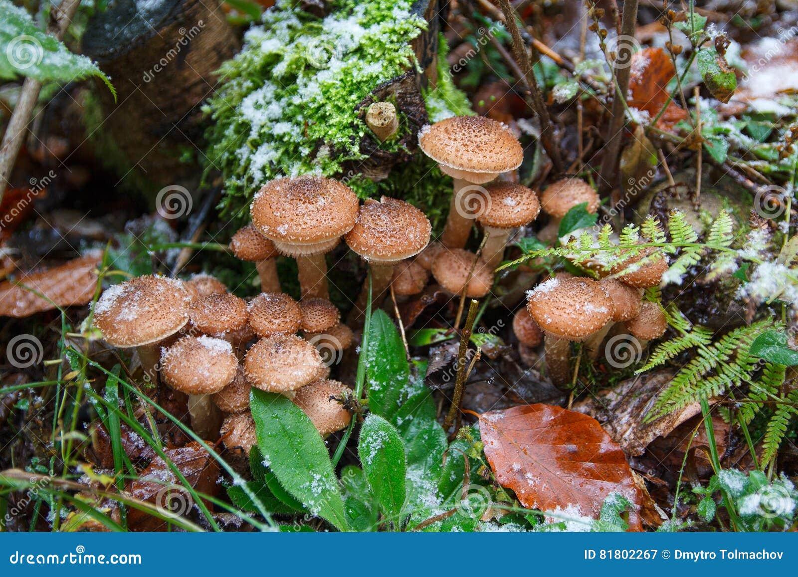 Семья грибков в снеге lesupod первом