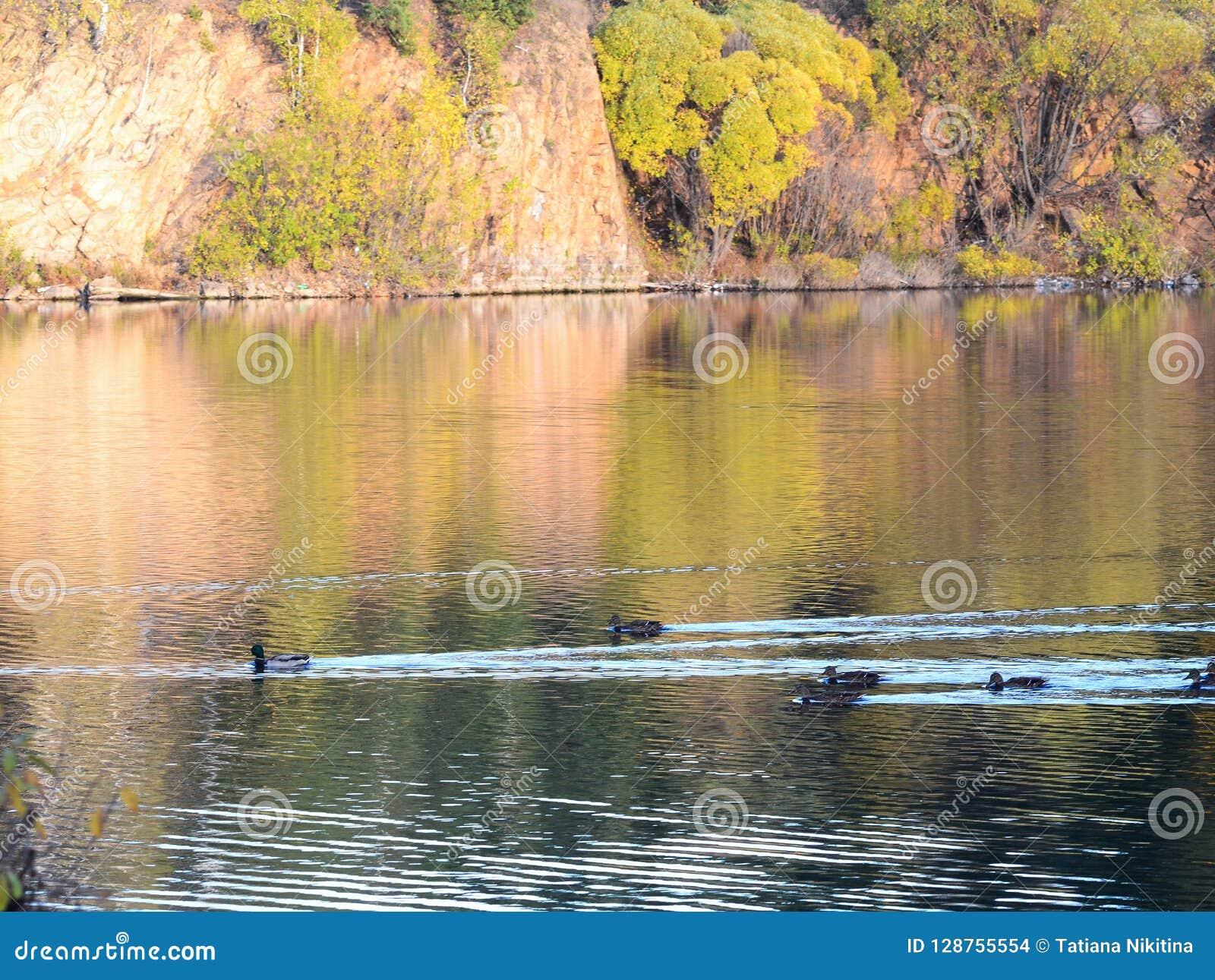 Семья диких уток плавая в пруде осени