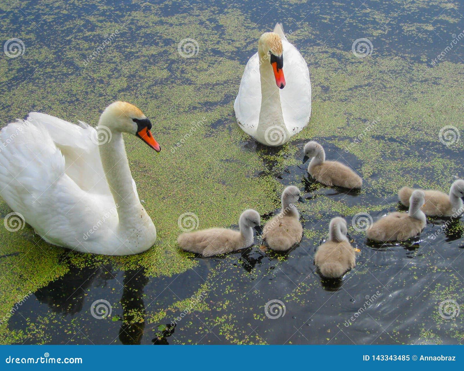 Семья красивых белых лебедей на воде в пруде на природе