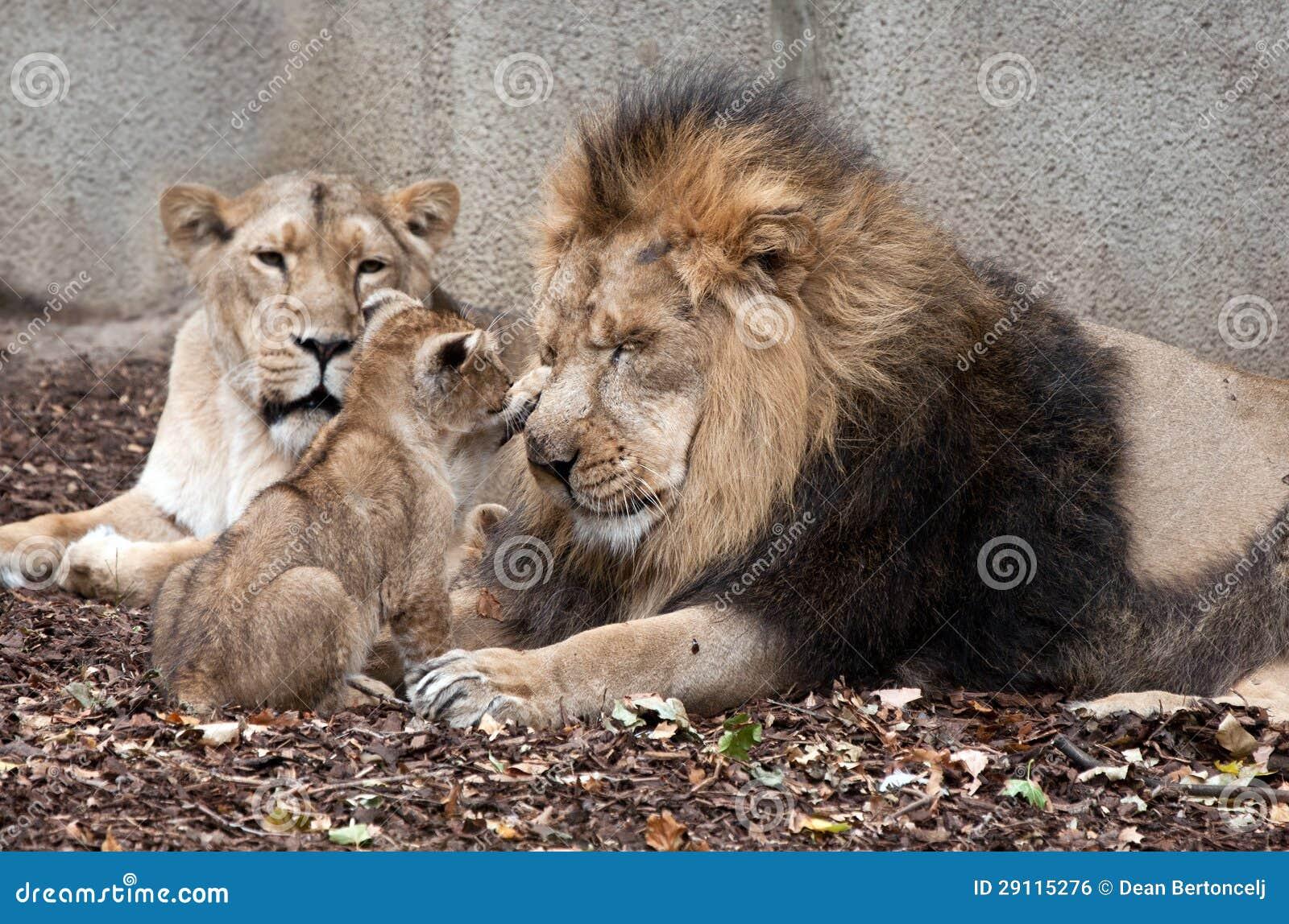 фото львов семья