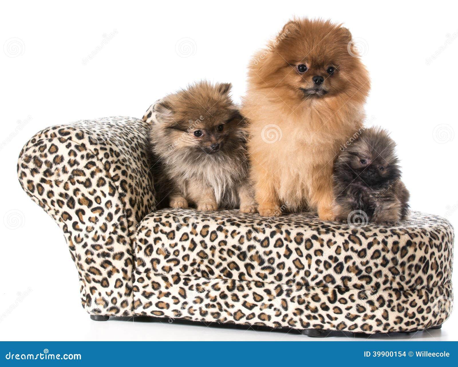 Семья Pomeranian