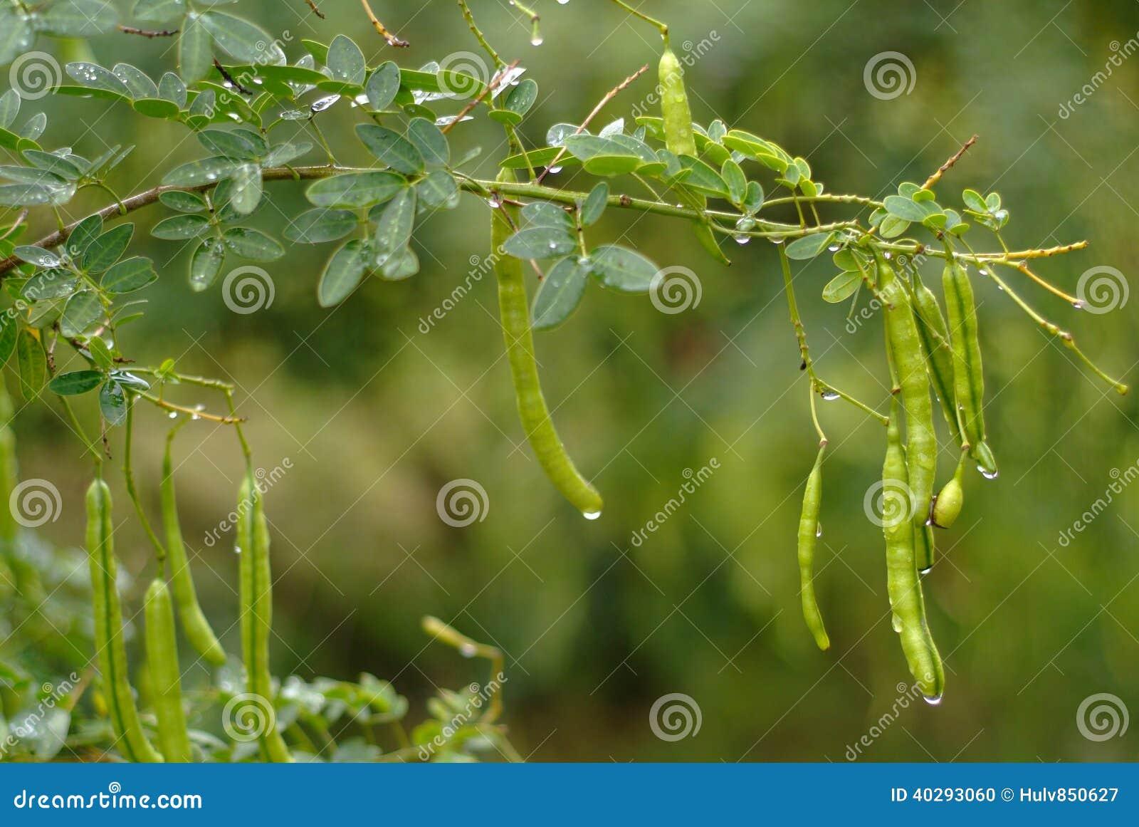 Семя дерева пагоды
