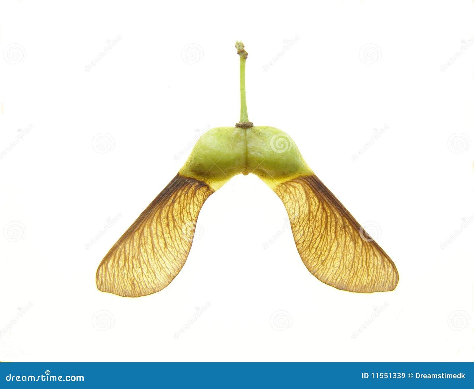 семя клена