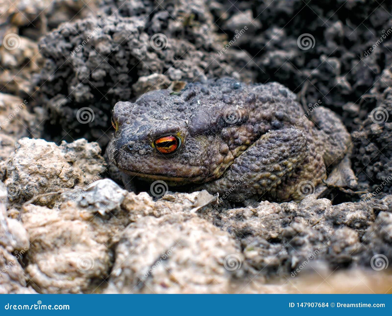 Серая жаба земли проспала вверх весной