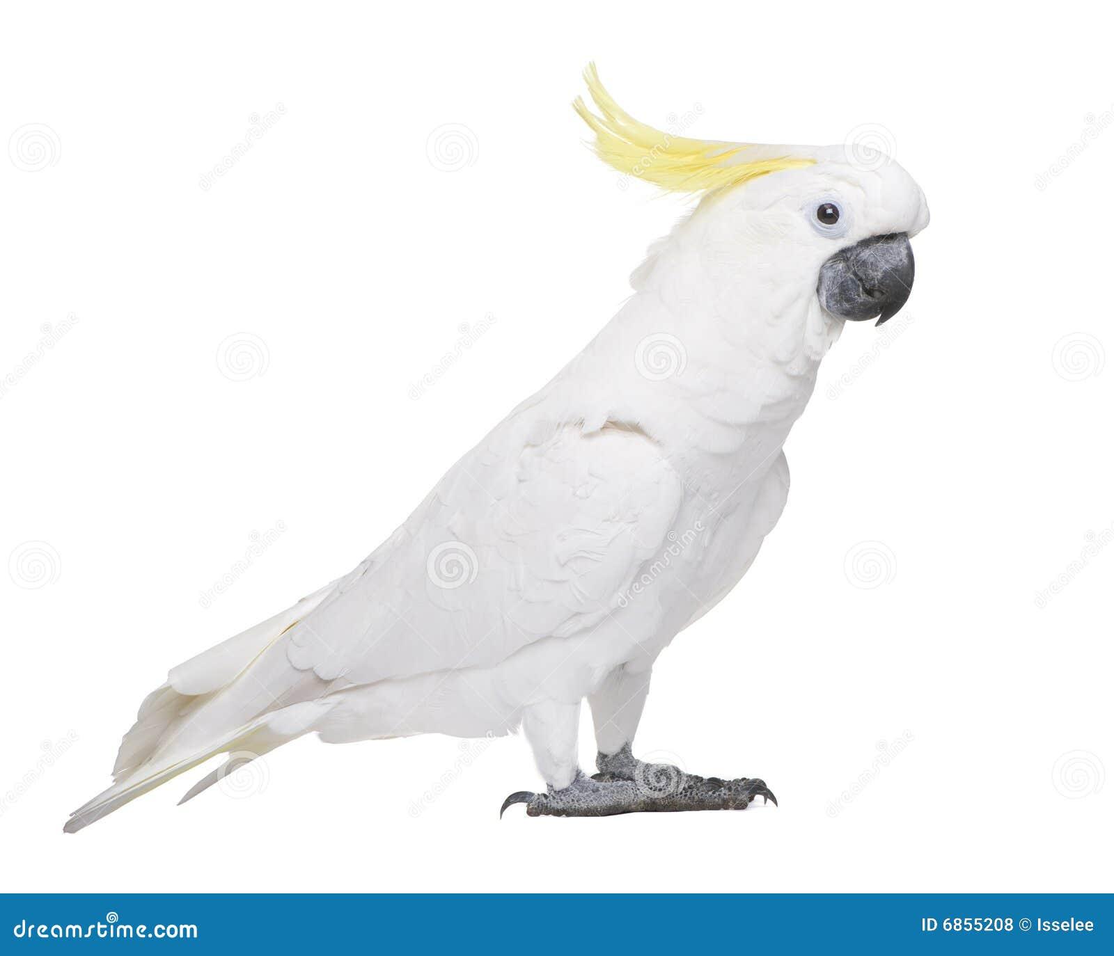 сера galerita cacatua crested cockatoo