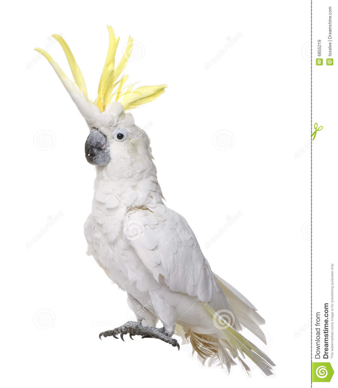 сера galerita cacatua crested cockatoo