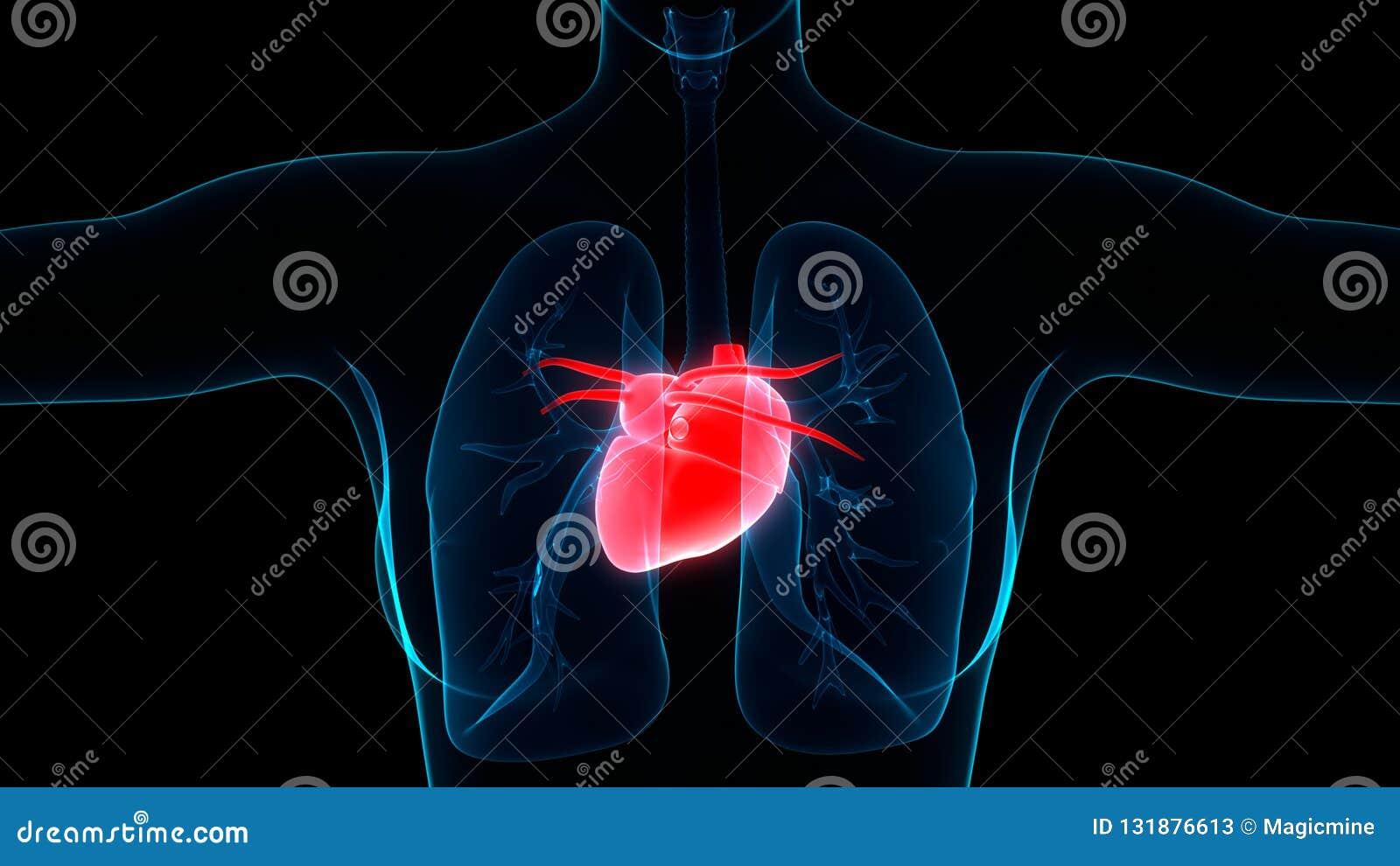 Сердечно-сосудистая система органов человеческого тела с анатомией сердца