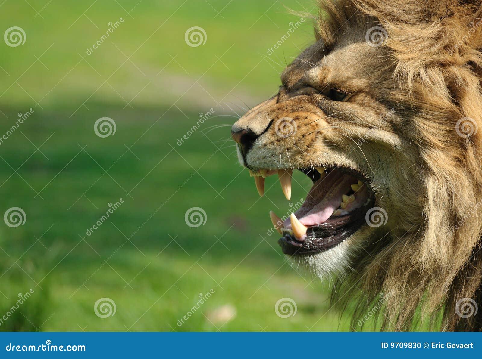 сердитый львев