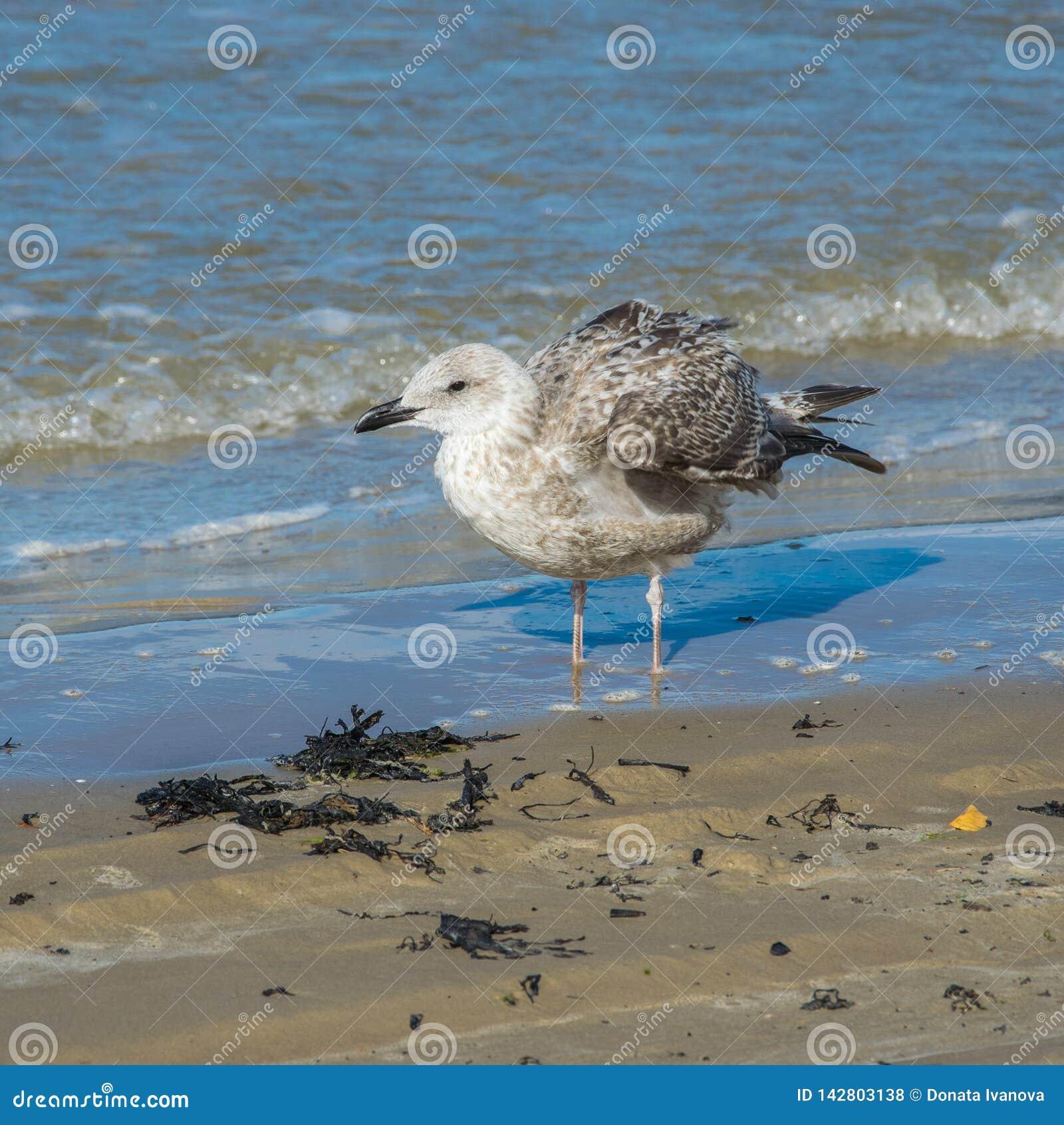 Серебряная чайка, argentatus Larus, стоя в мелководье