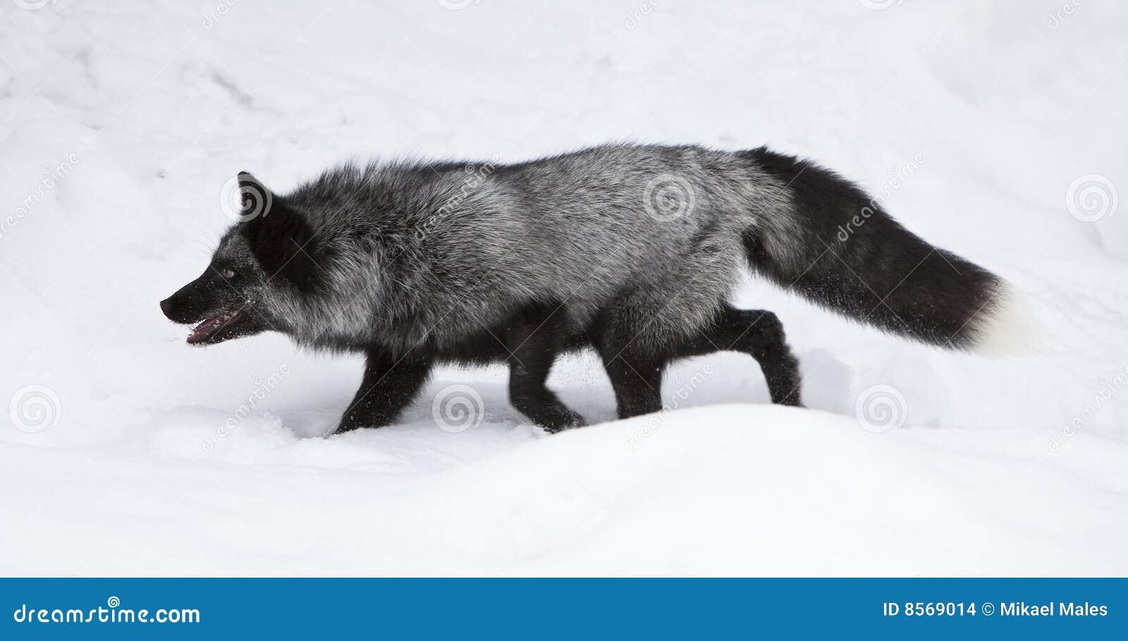 серебр звероловства лисицы еды