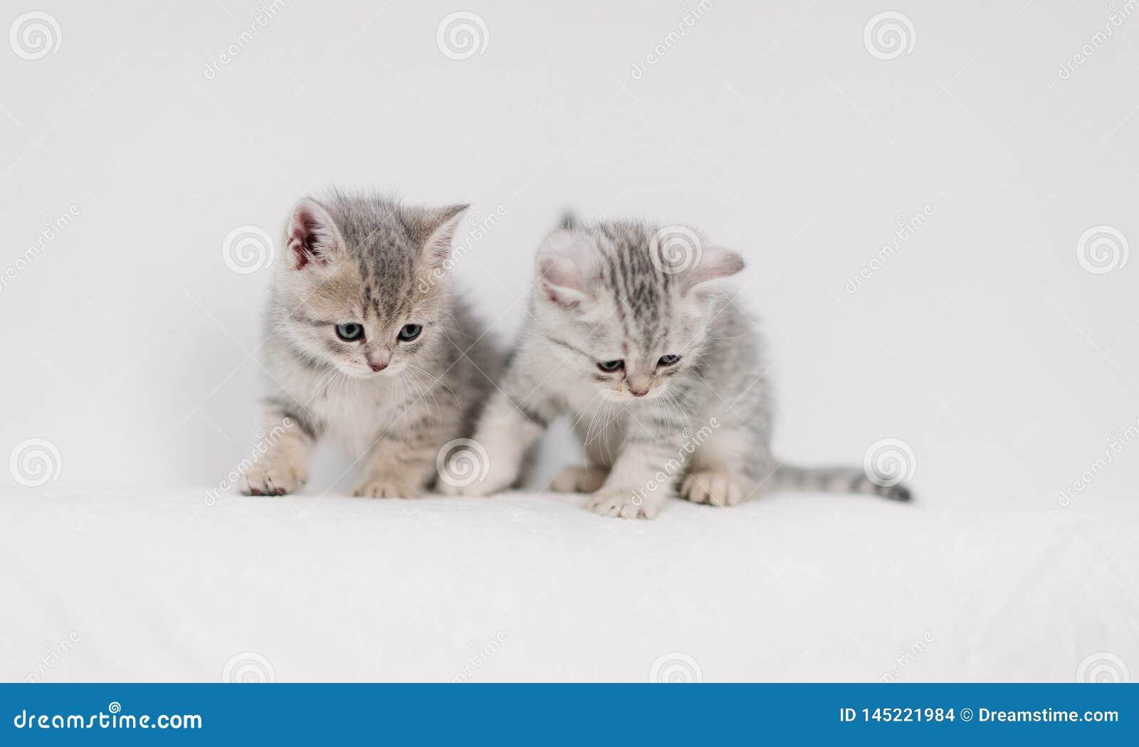 Серые котята играя на белой софе