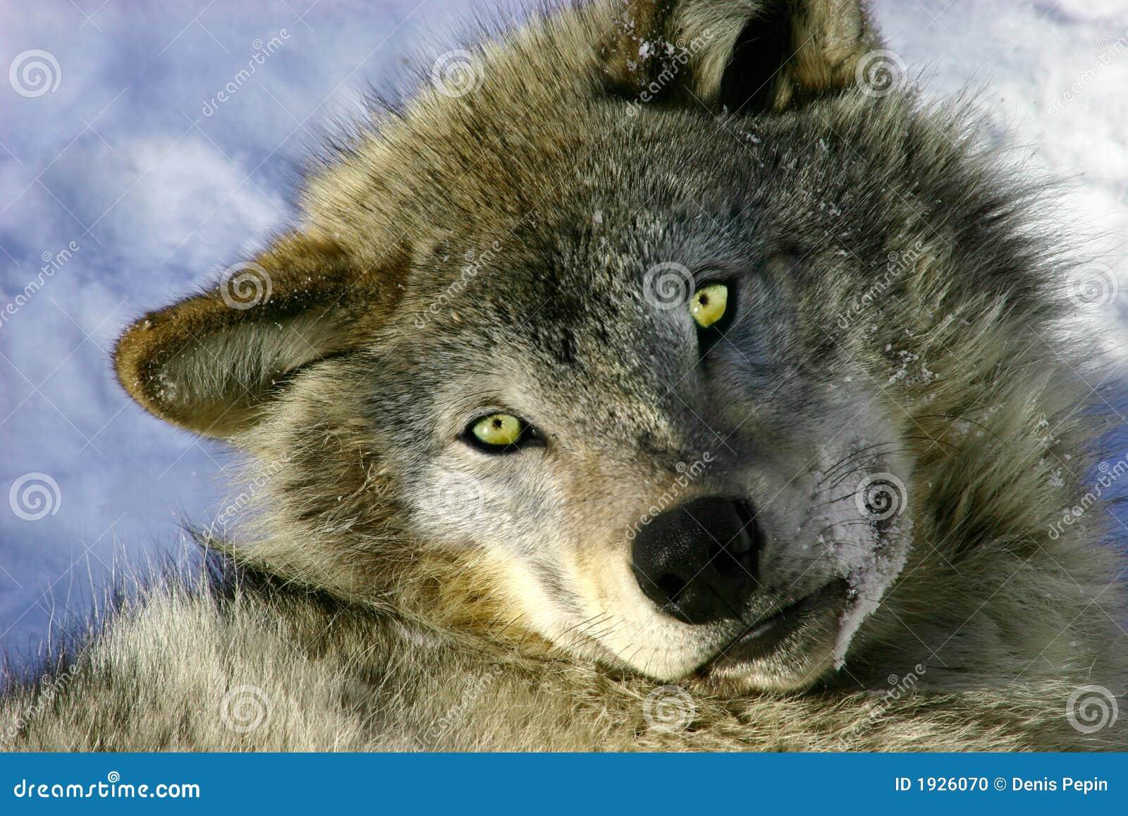 серые отдыхая детеныши волка