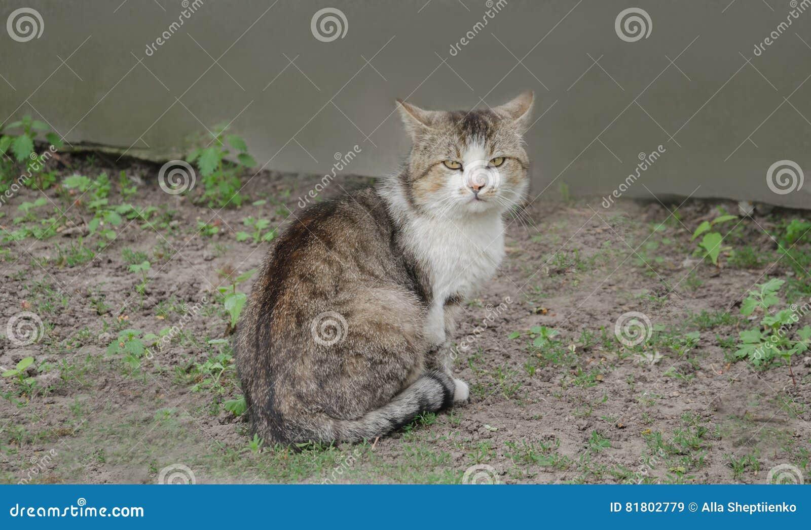 Серый большой кот