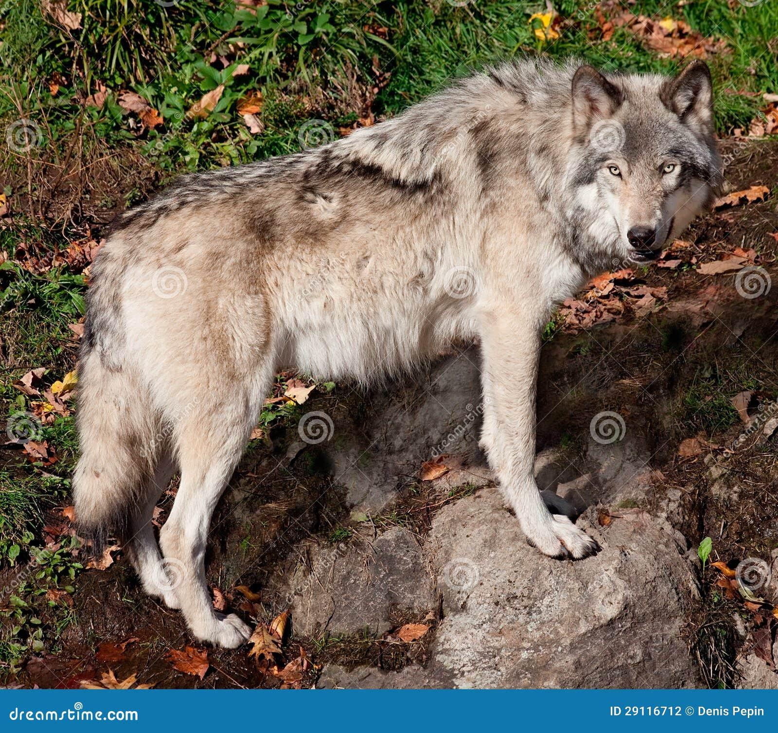 Серый волк смотря камеру