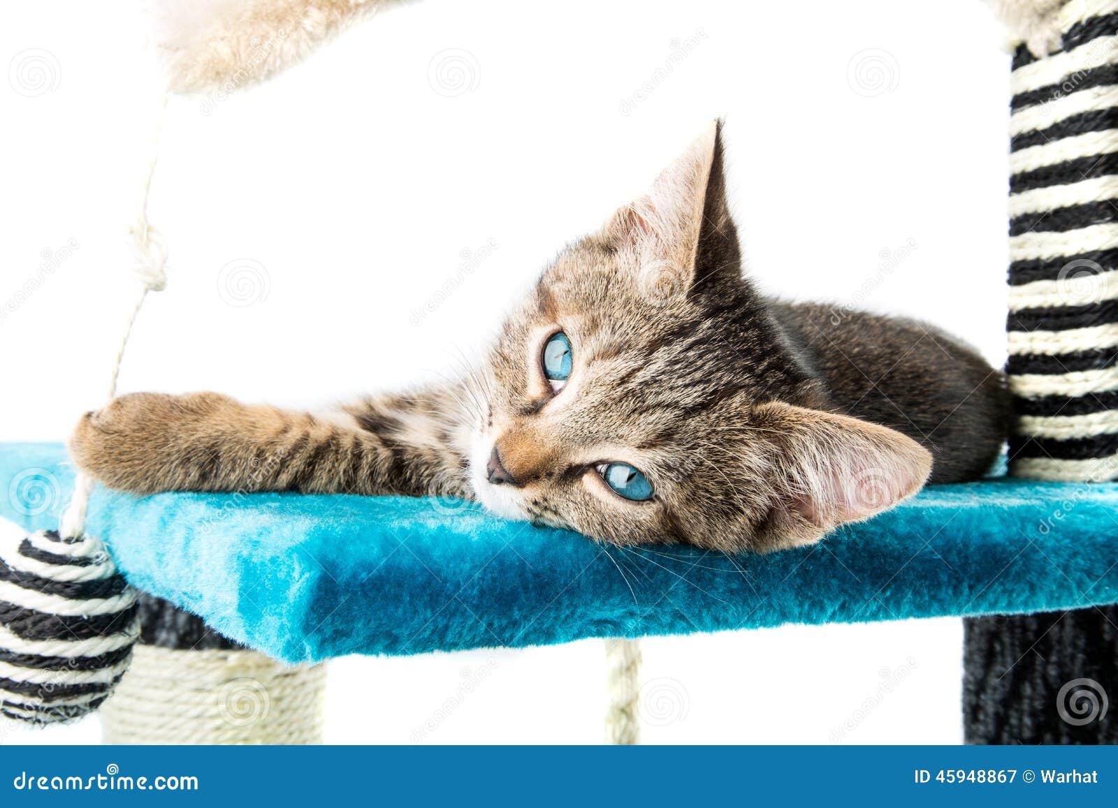 Серый котенок tabby при голубые глазы лежа на surfac голубого плюша мягком