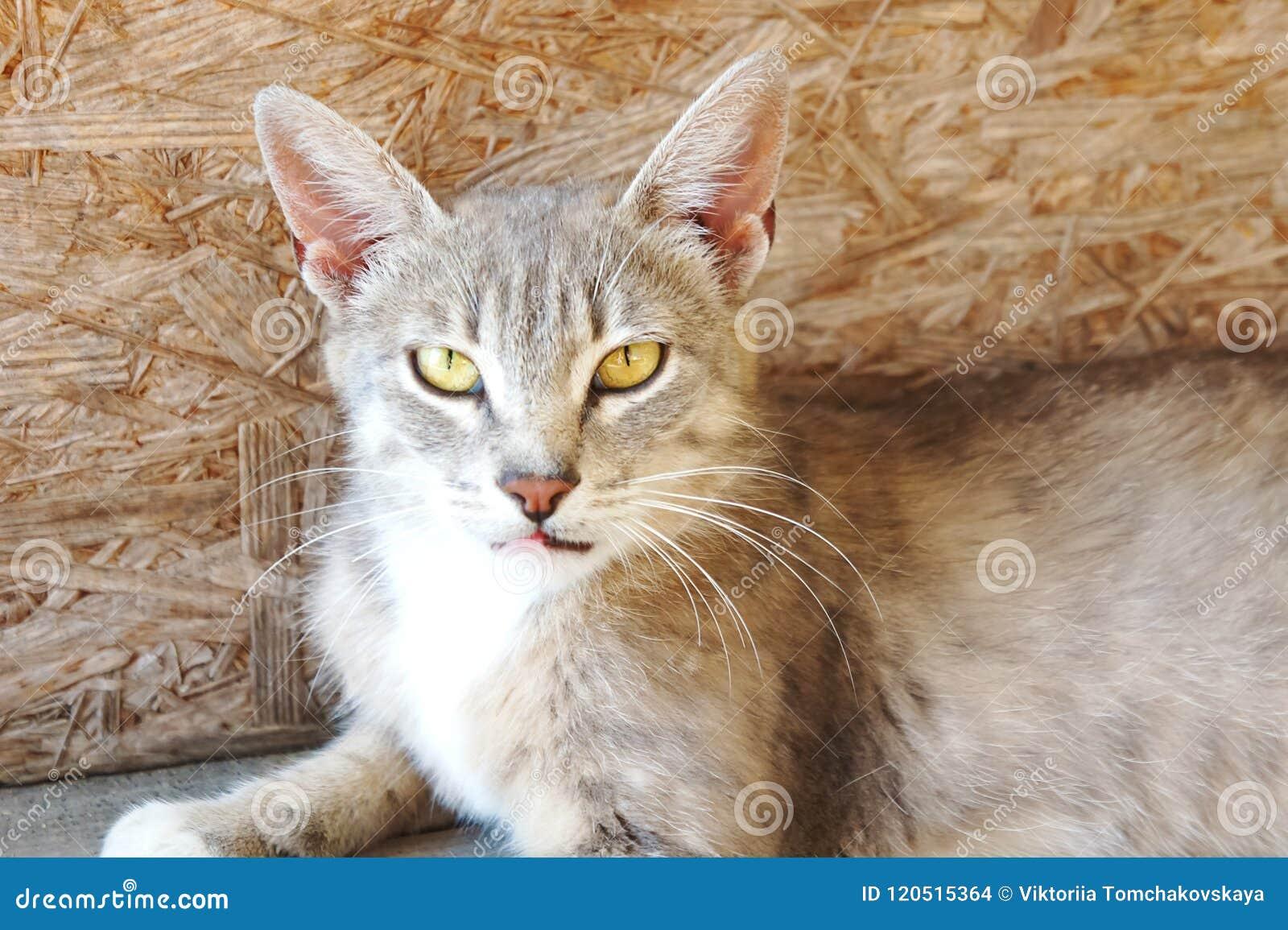 Серый кот рыся с большими ушами и желтыми глазами лежит смотрящ бездомное зло