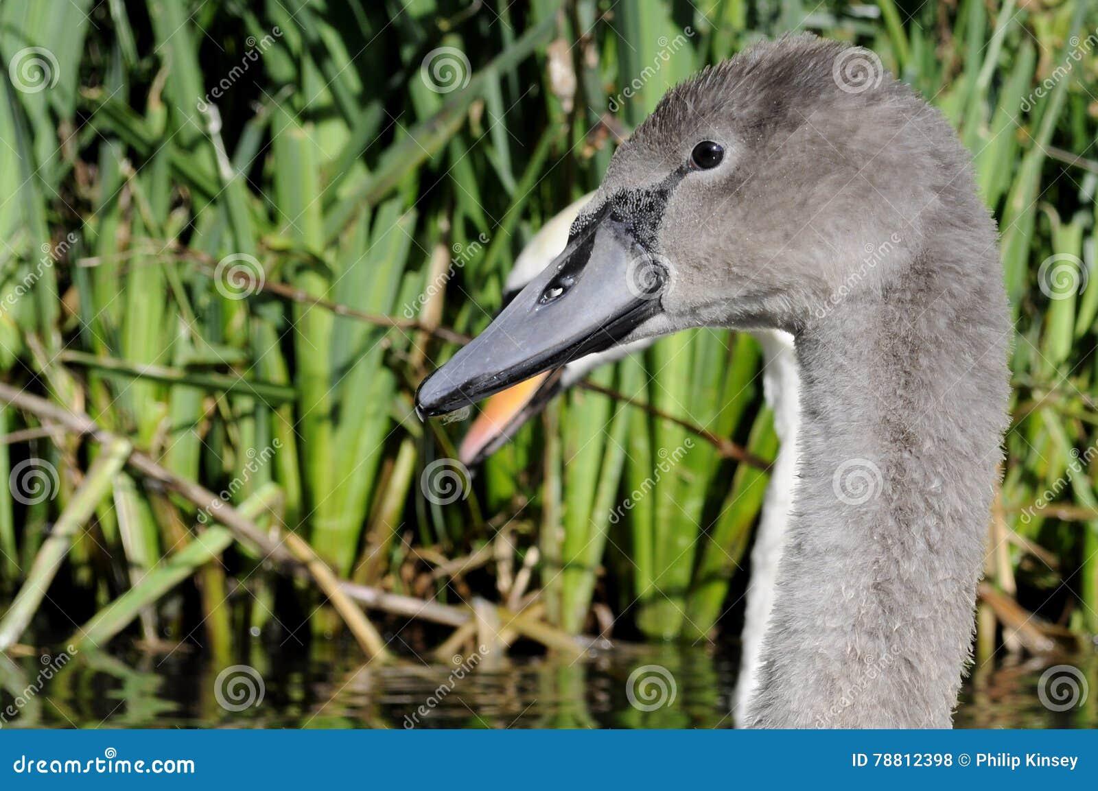 Серый молодой лебедь безгласного лебедя