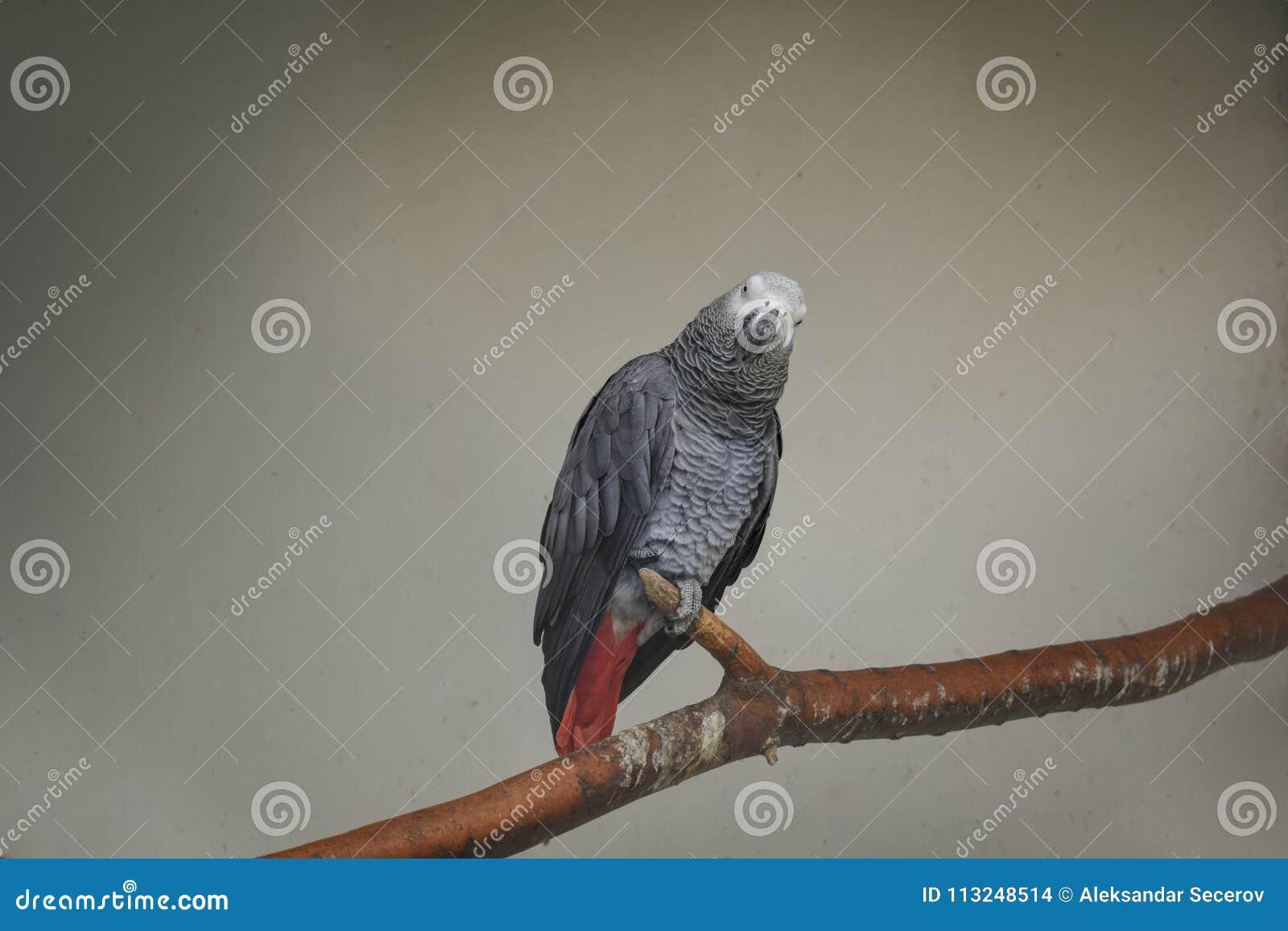 Серый попугай стоя на ветви на белой предпосылке