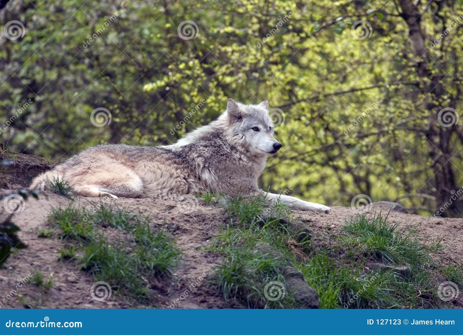 серый lounging волк