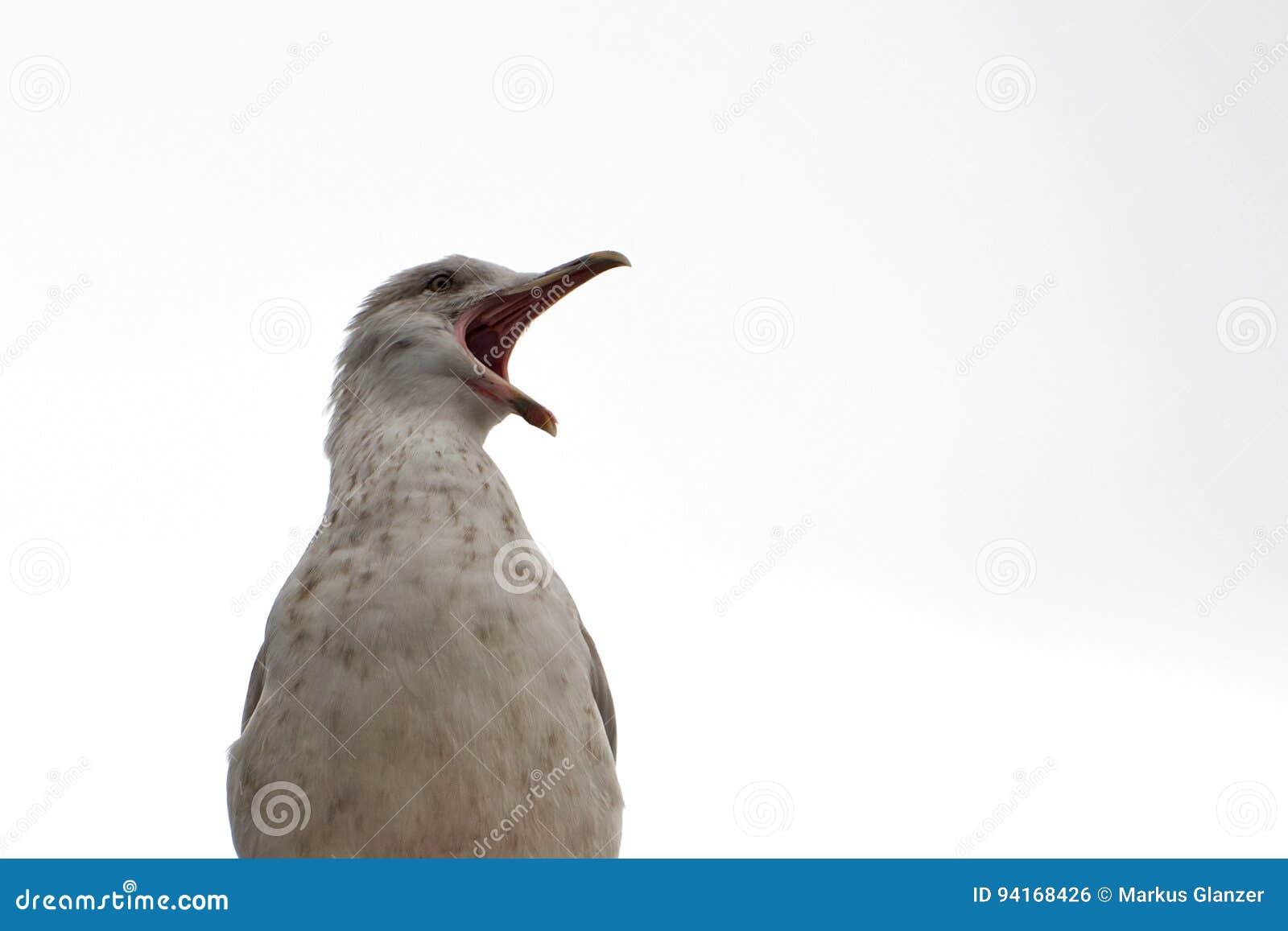 Сердитая чайка выкрикивая на мире