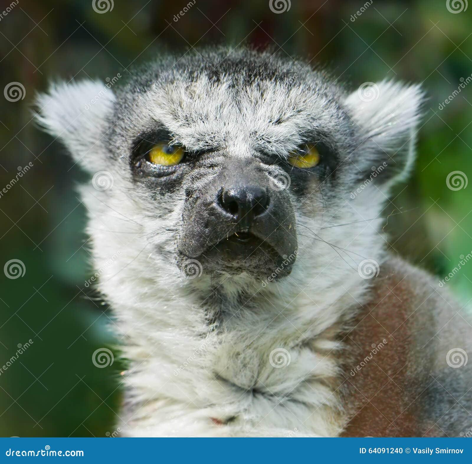 Сердитый Кольц-замкнутый лемур