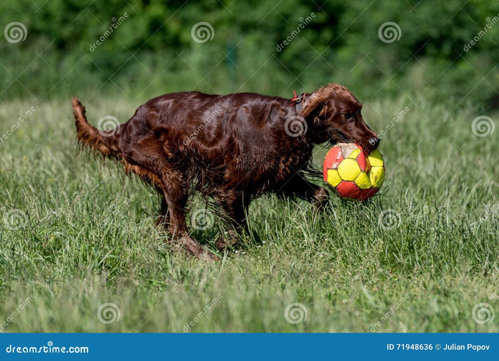 Сеттер Rish играя с шариком, селективным фокусом на собаке