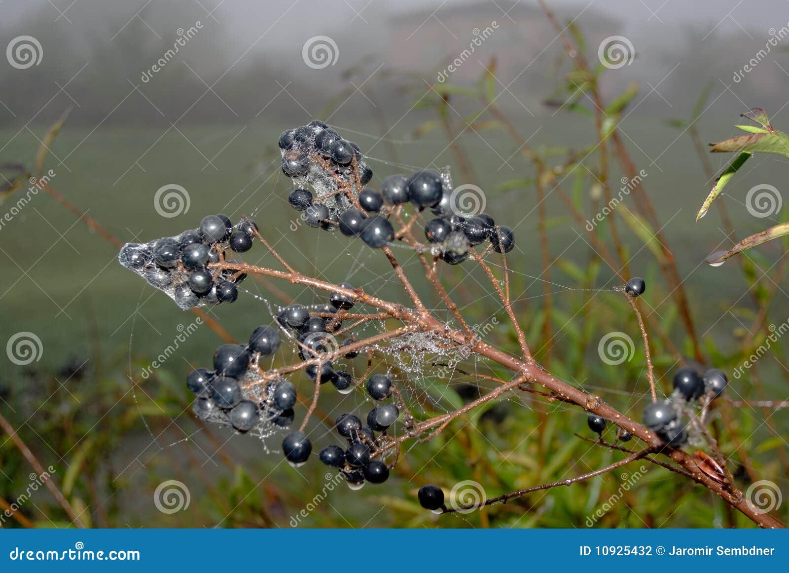сеть паука выхода на пенсию elderberries осени