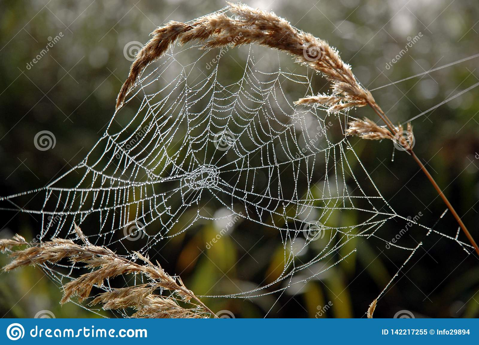 Сеть паука в росе утра