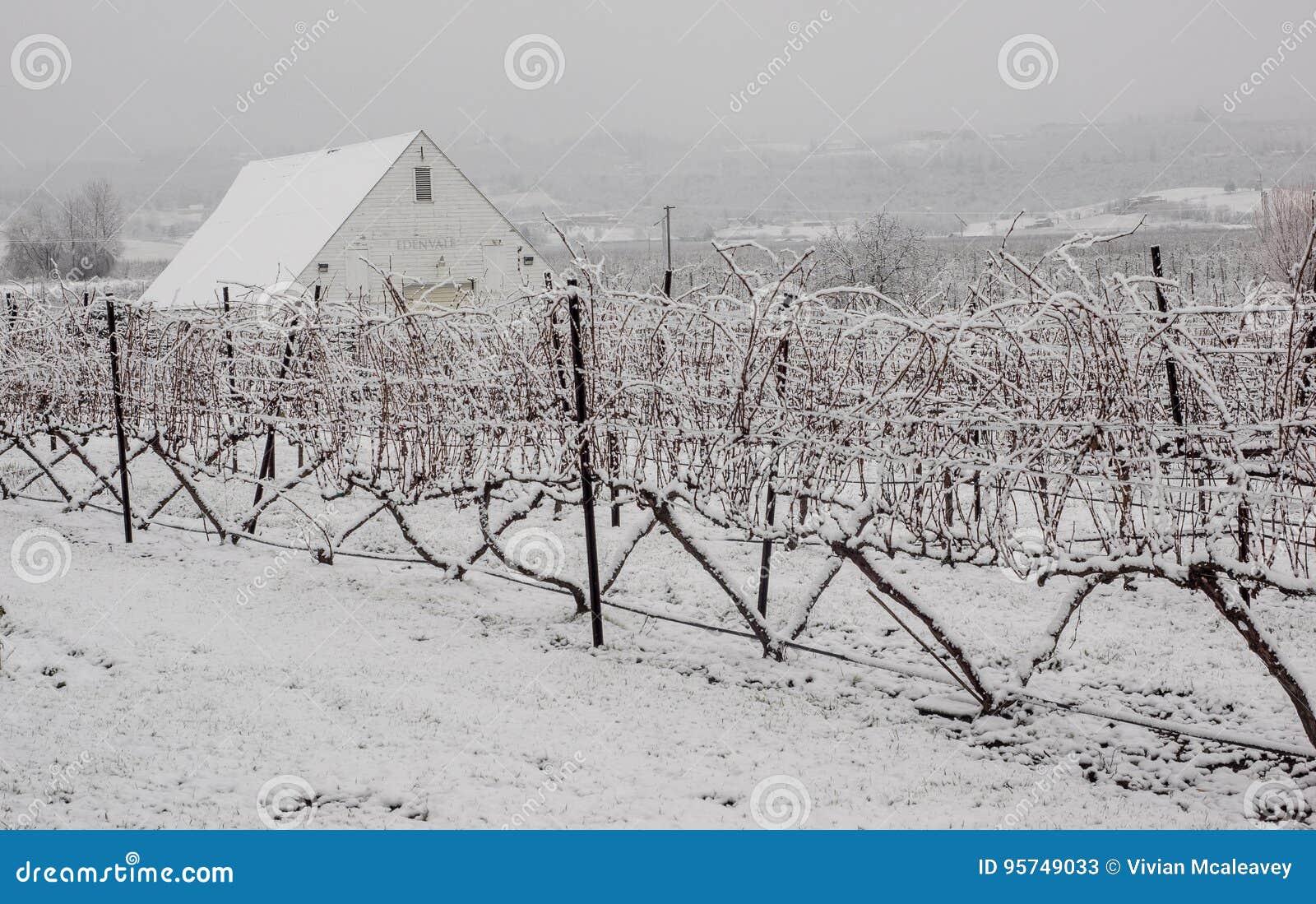 Сельский район виноградника в зиме