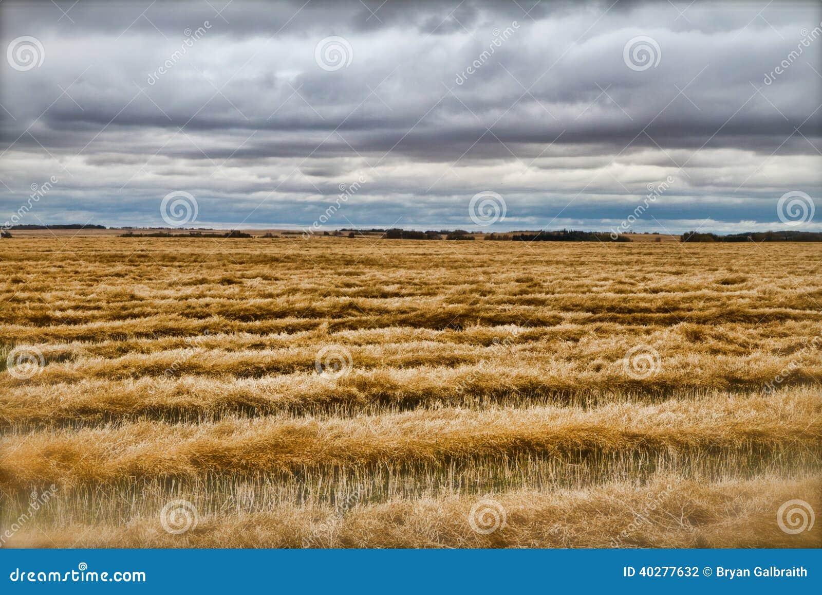 Сжатое пшеничное поле