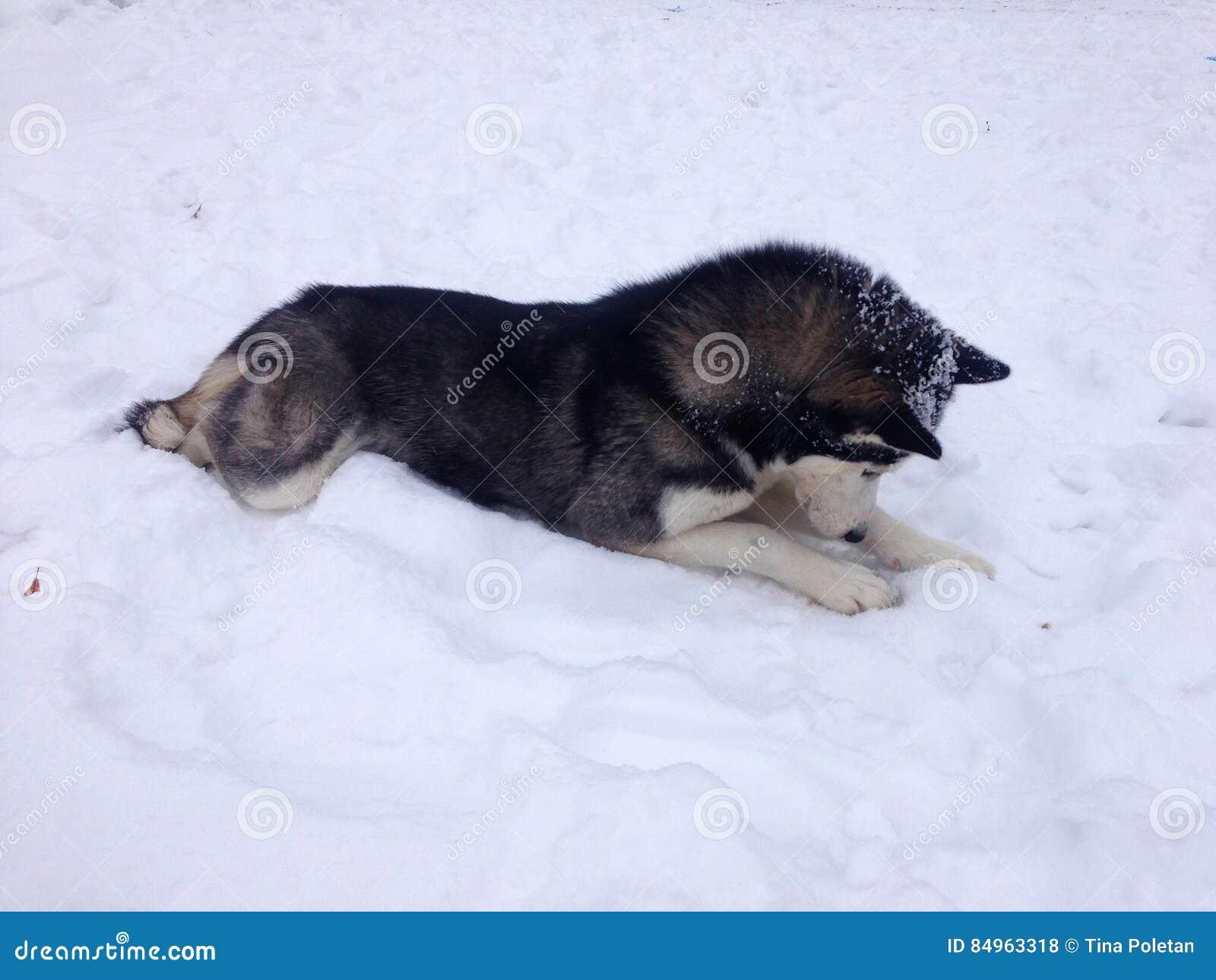 Сибирская лайка кладя в снег