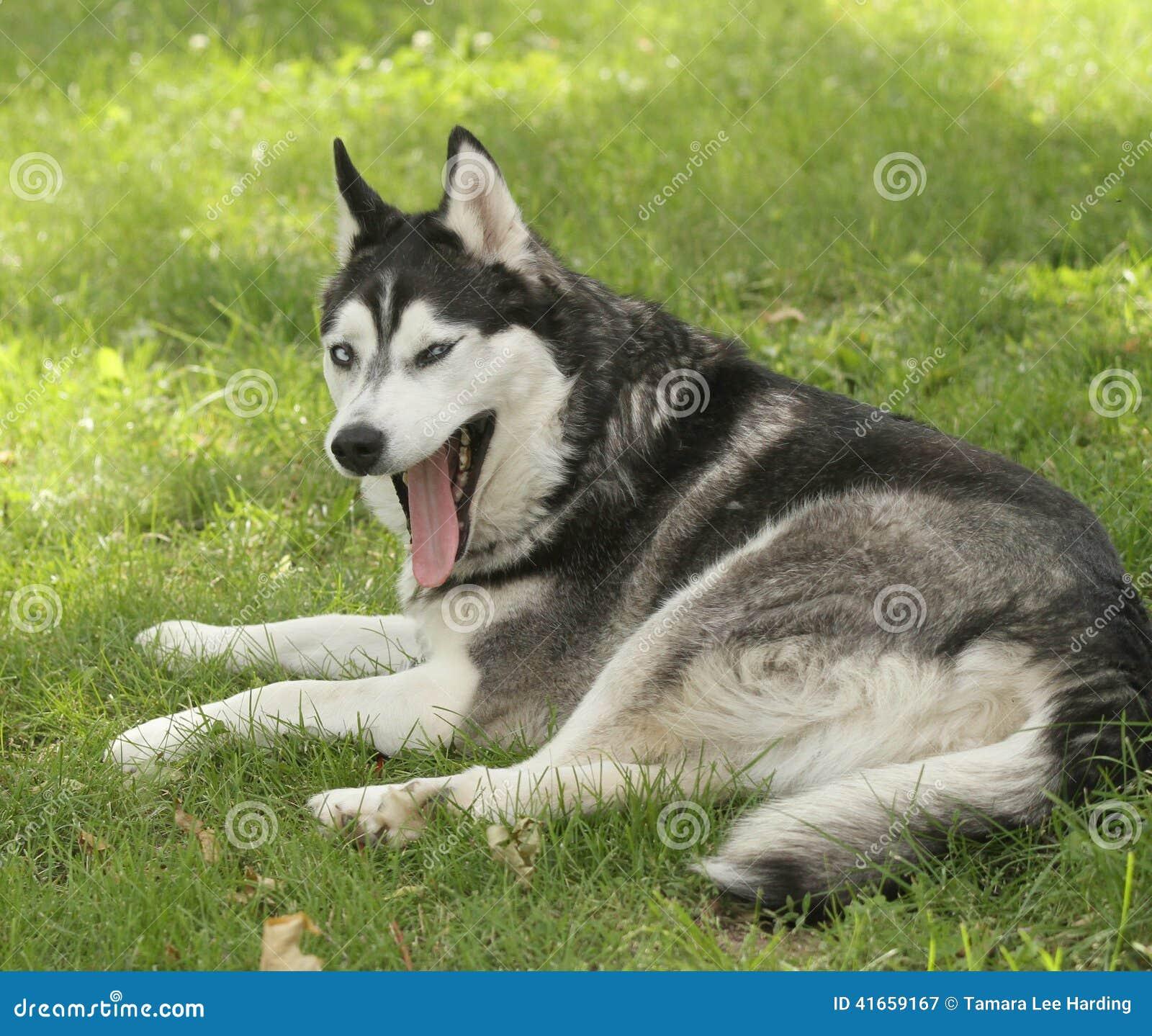 Сибирская лайка с смешным выражением