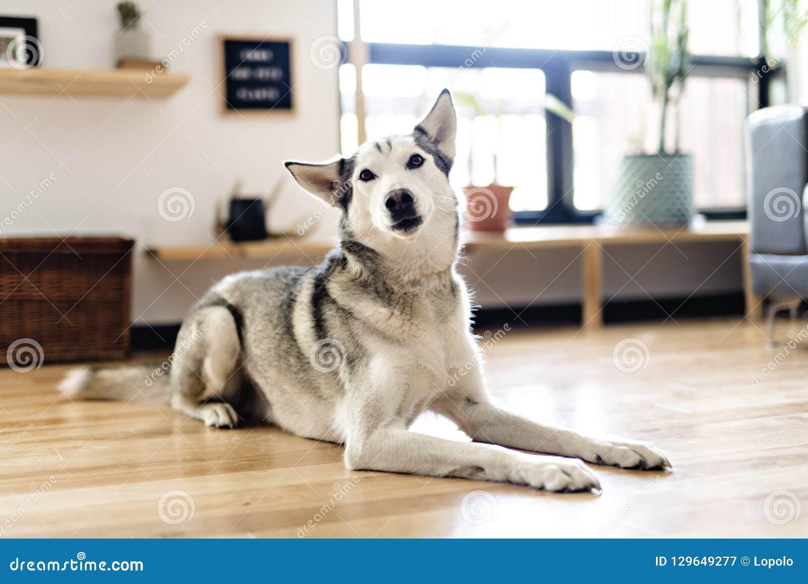 Сибирская лайка дома лежа на поле образ жизни с собакой