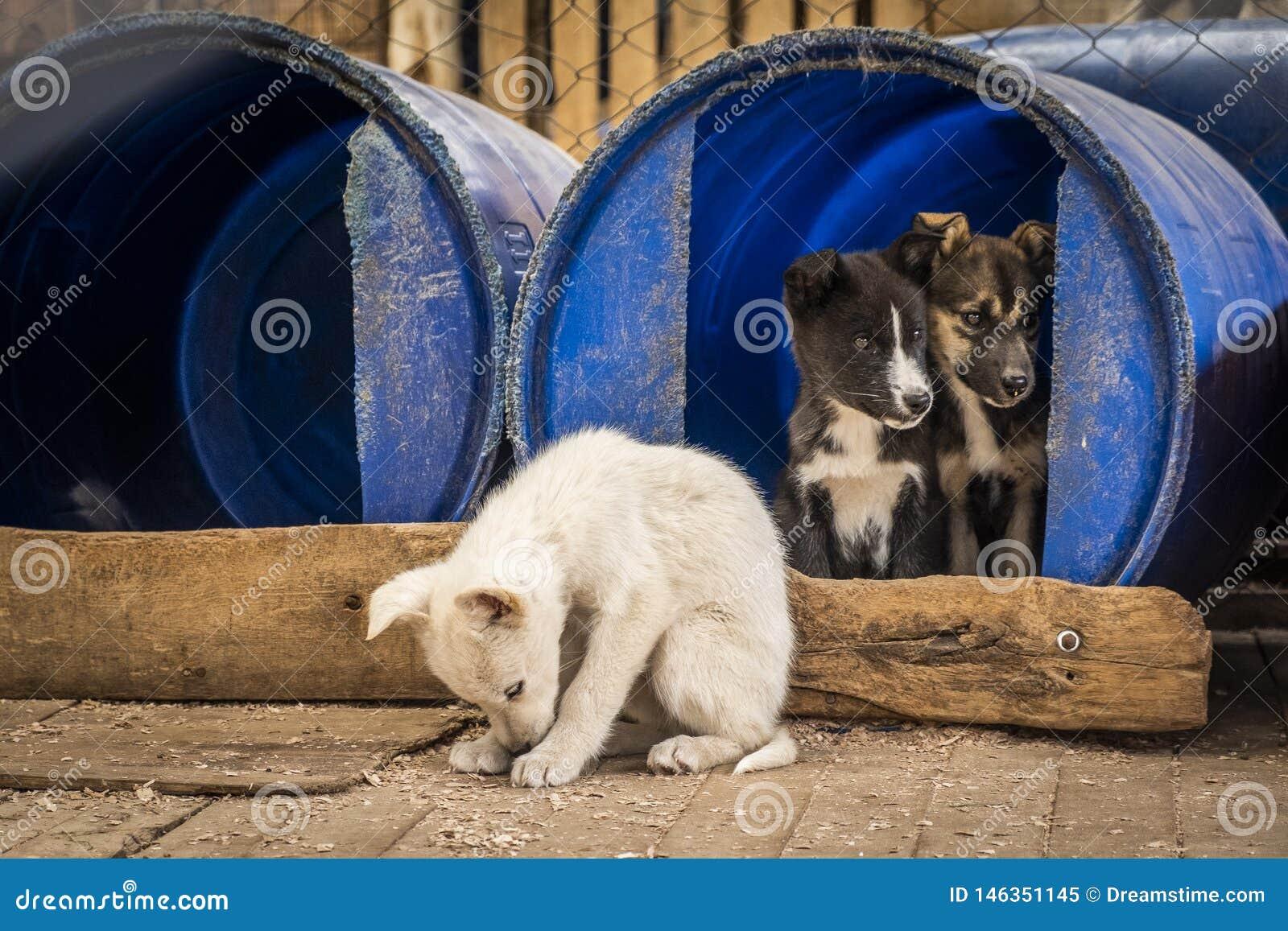 Сибирские щенята чабанов внутри беженца в конуре собаки