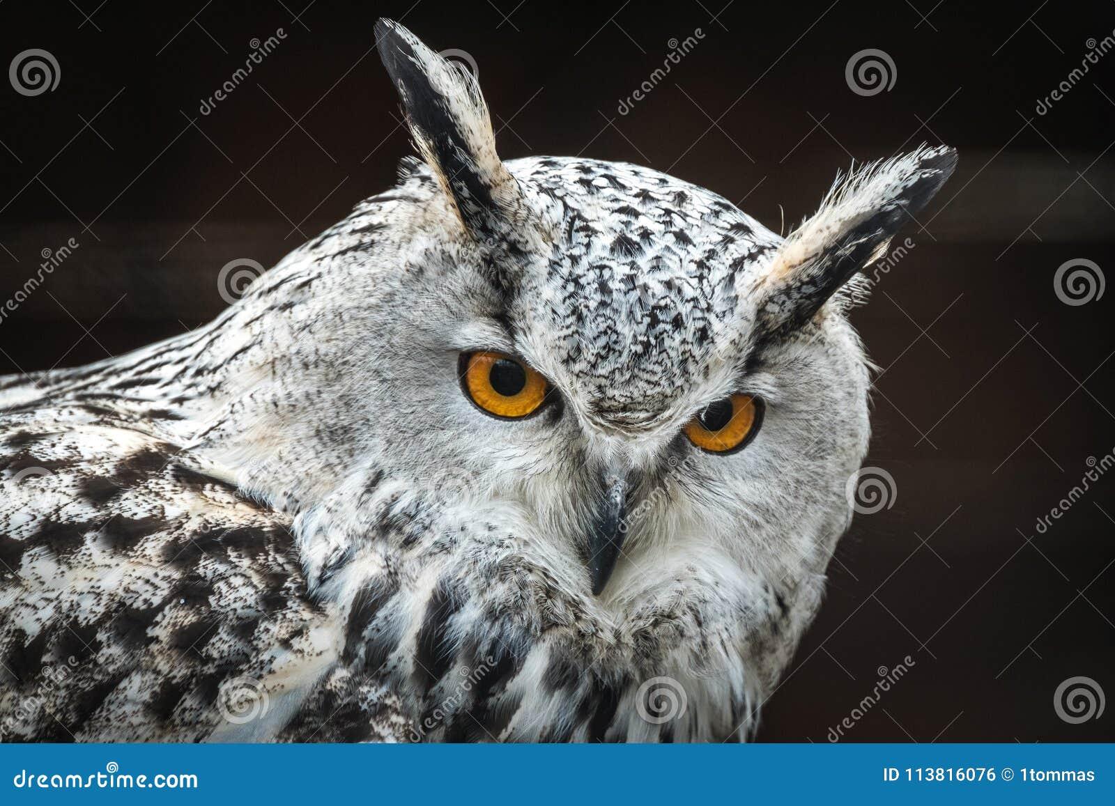 Сибирское sibiricus bubo Bubo сыча орла