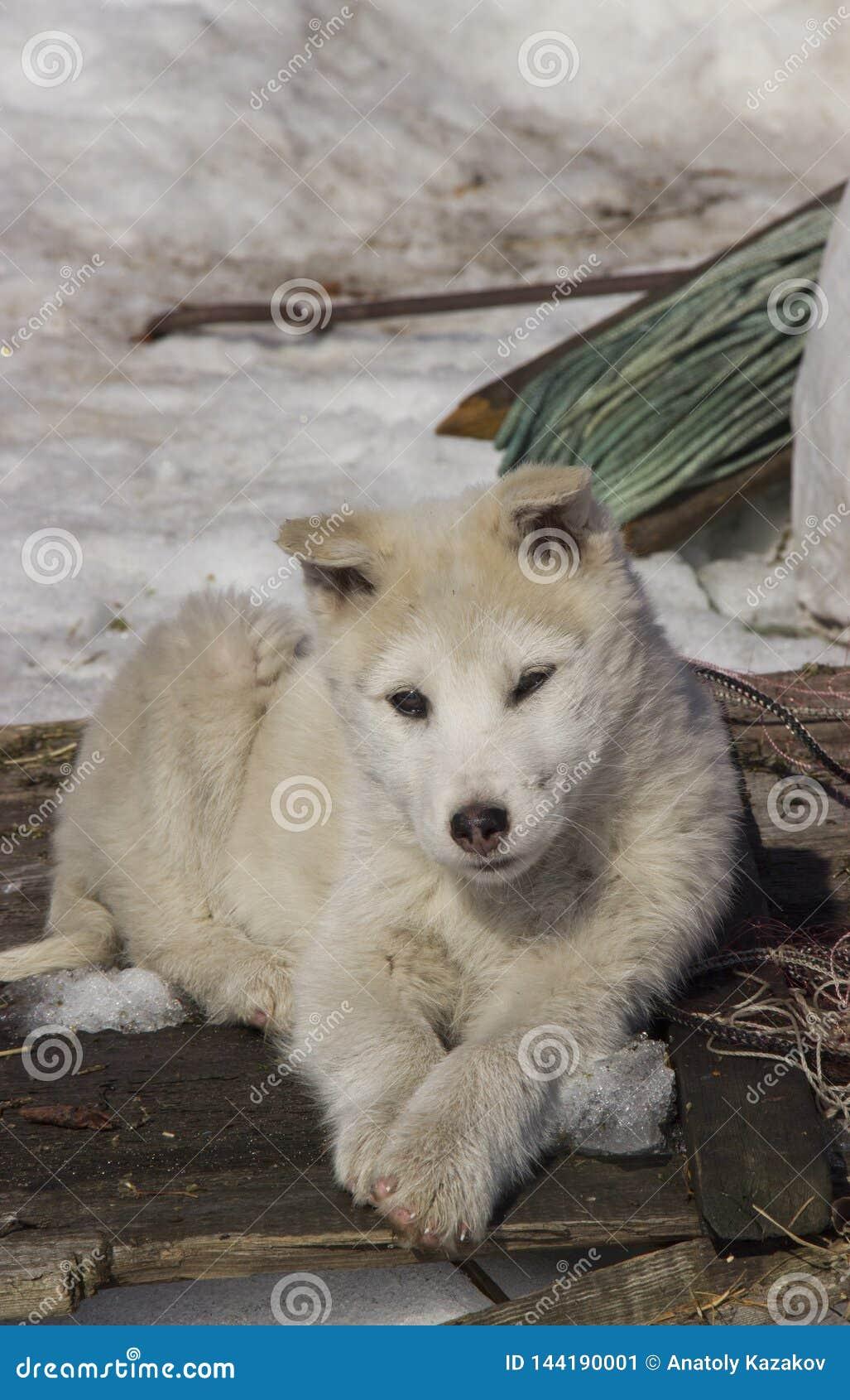 Сибиряк Laika запада щенка