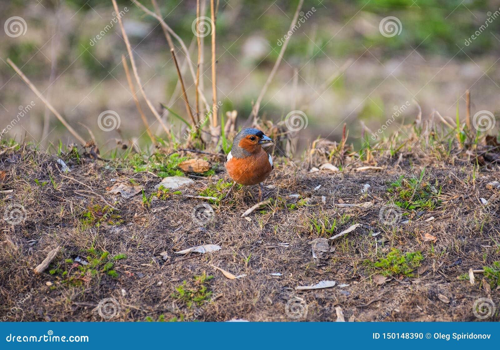 Сидеть птицы Брауна маленький