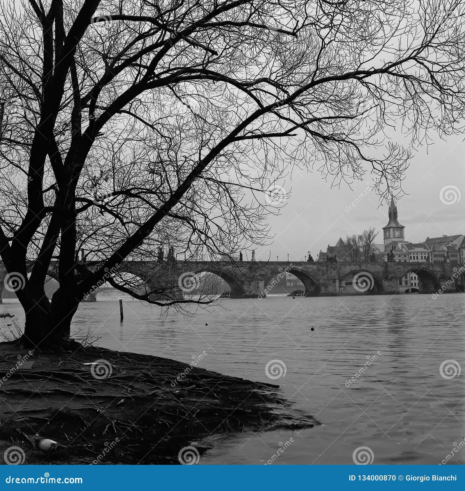 Силуэт нагого дерева рекой Влтавой на восходе солнца, с Карловым мостом на заднем плане
