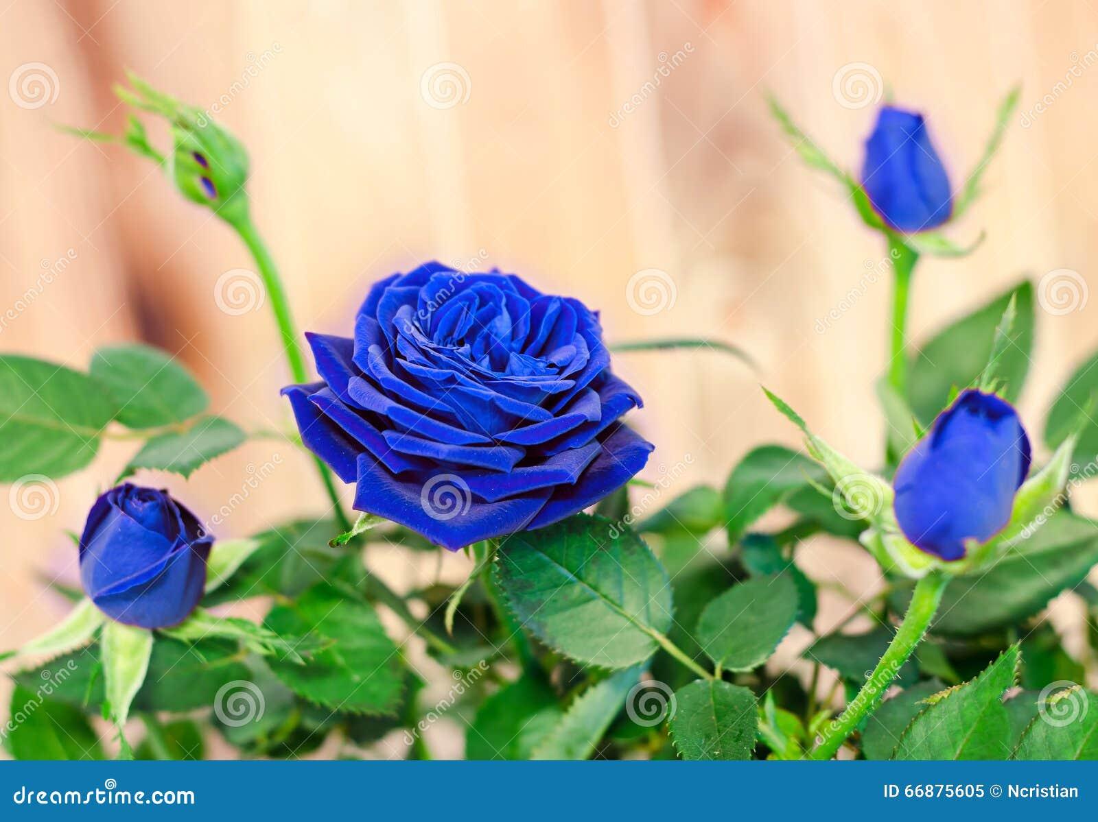 Кусты синего цвета