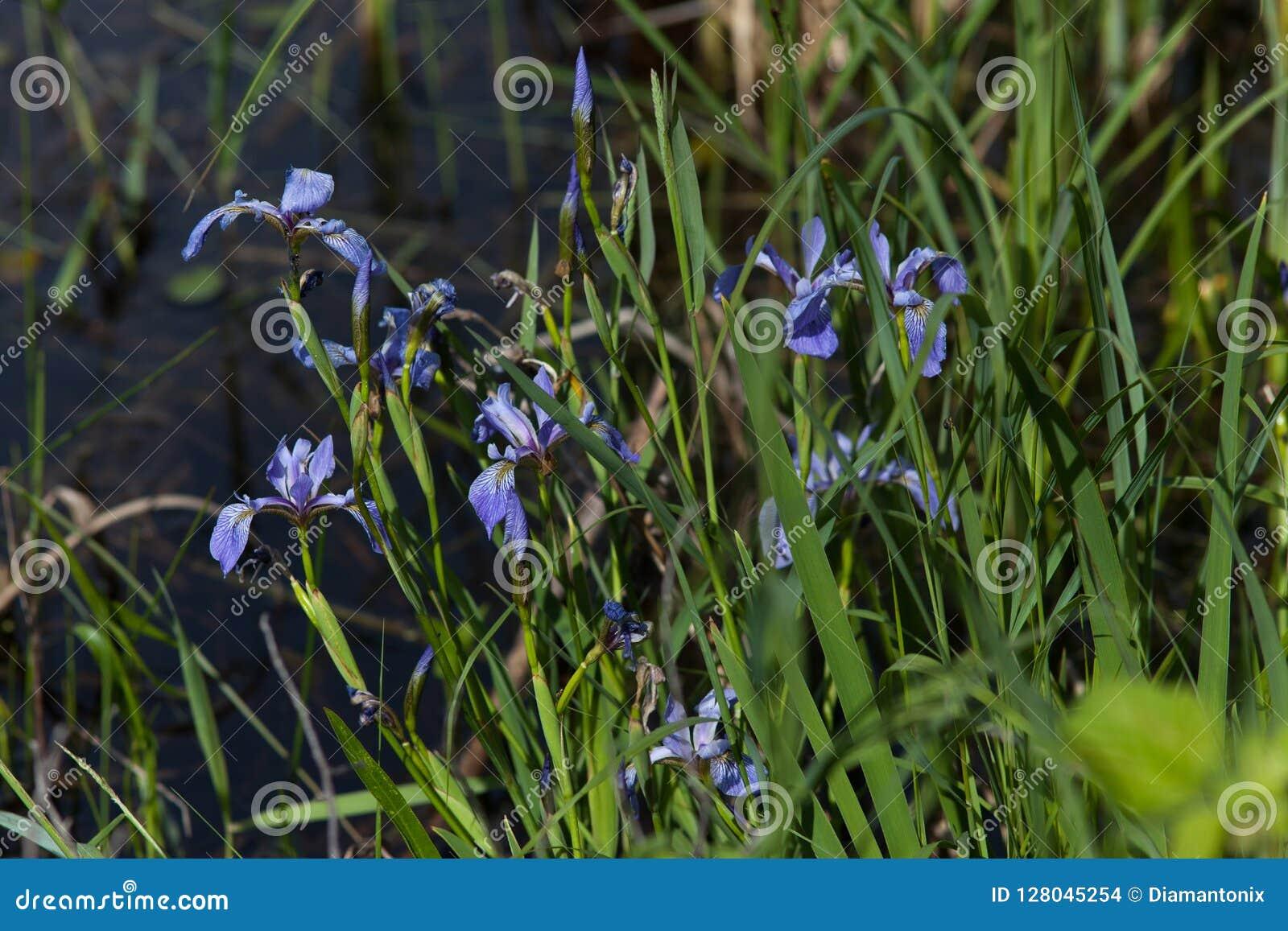 Синь дикой радужки зацветая яркая в болоте