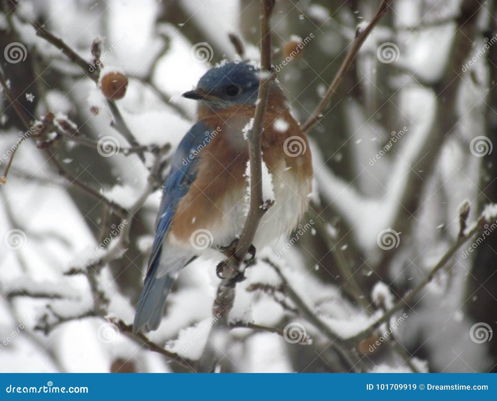 синяя птица восточная