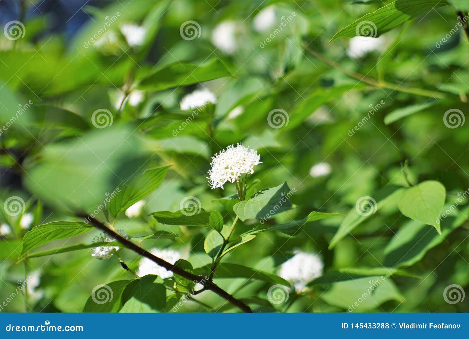 Сирень Буш и свои цветки, белые
